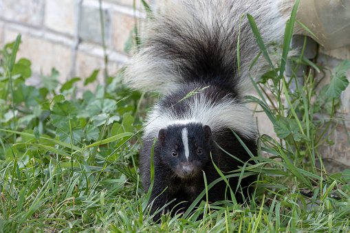 Young striped skunk (Mephitis mephitis) near the human dwelling 1161650204