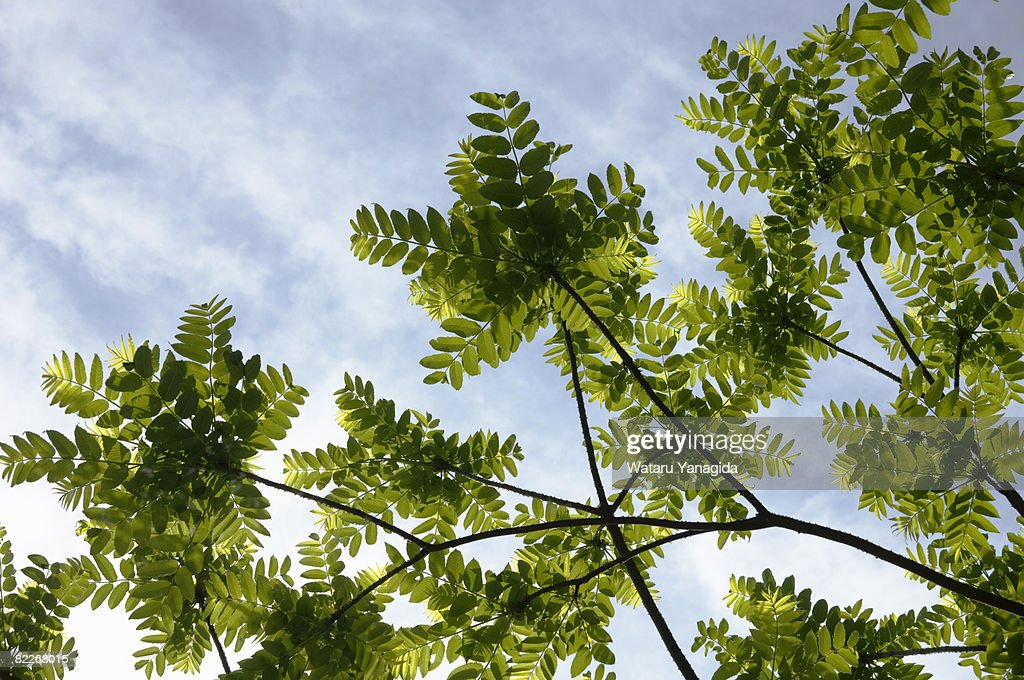 Young sumac leaves against blue sky : Stock Photo