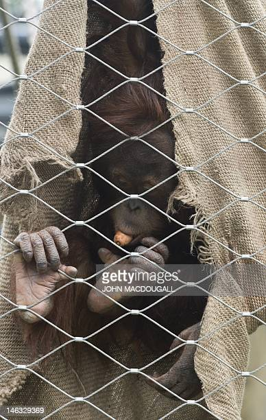 Young Sumatran Orangutan eats a carrot wrapped in a sac, hanging from his enclosure fence at Berlin's Zoologischer Garten zoo on June 14, 2012. AFP...