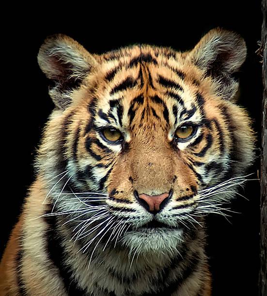 Young Sumatran Tiger Wall Art