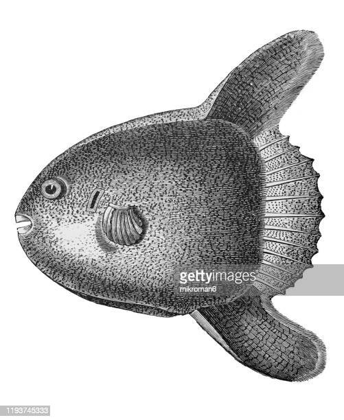 young sun fish, the ocean sunfish or common mola (mola mola). antique illustration, popular encyclopedia published 1894. copyright has expired on this artwork - mola stock pictures, royalty-free photos & images