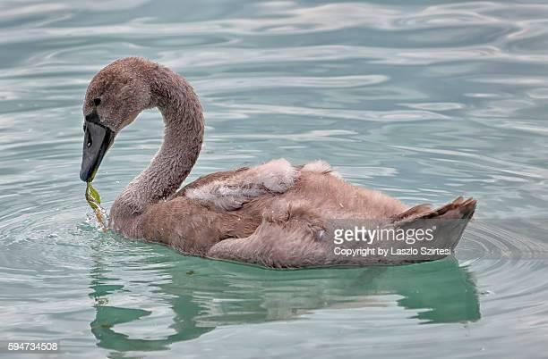 Young swan at Tihany Peninsula in Hungary