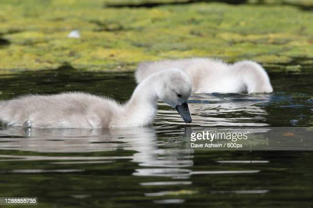 young swan,melton mowbray,united kingdom,uk - dave ashwin stock pictures, royalty-free photos & images