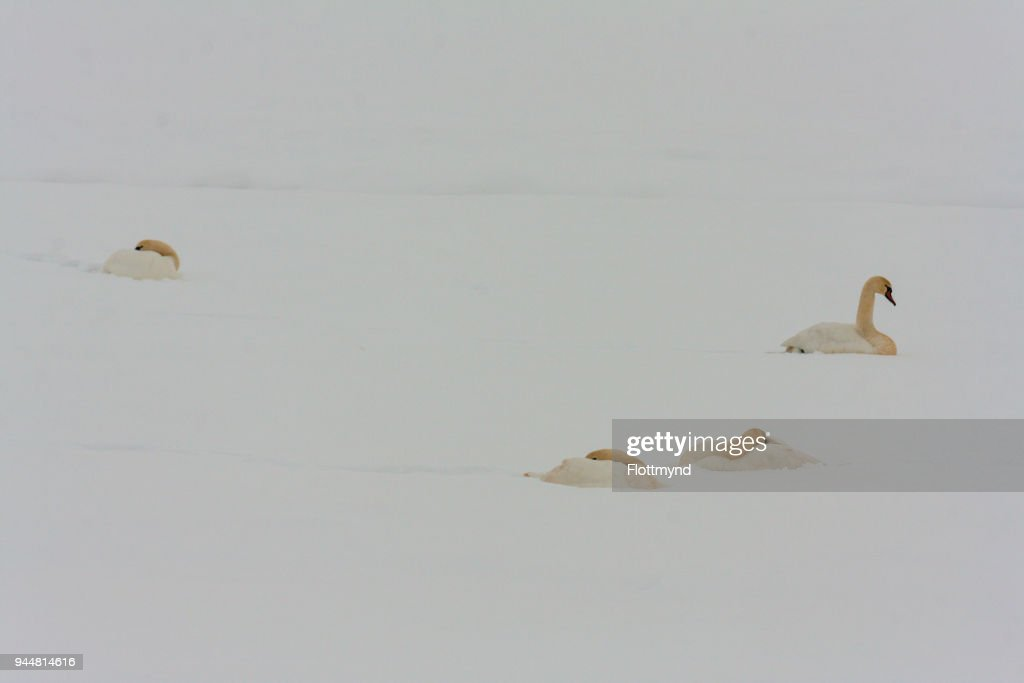 Young swans trying to survive the cold in winter, the Netherlands : Stock Photo