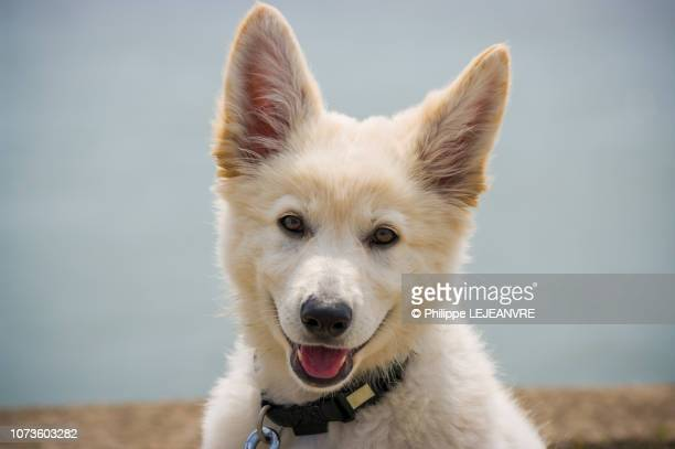 young swiss shepherd dog looking at camera - tête d'un animal photos et images de collection