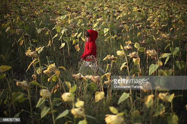 A young syrian boy plays in a field of sunflowers as he and his family wait to board a train headng for austrian border on September 15 2015 in...