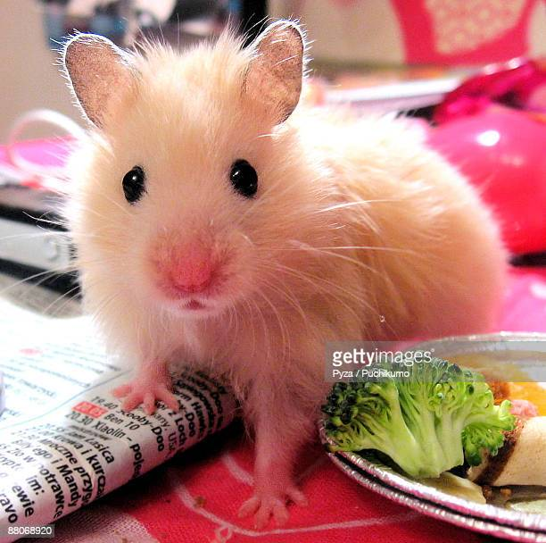 young syrian hamster with newspaper & lunch - golden hamster stock pictures, royalty-free photos & images