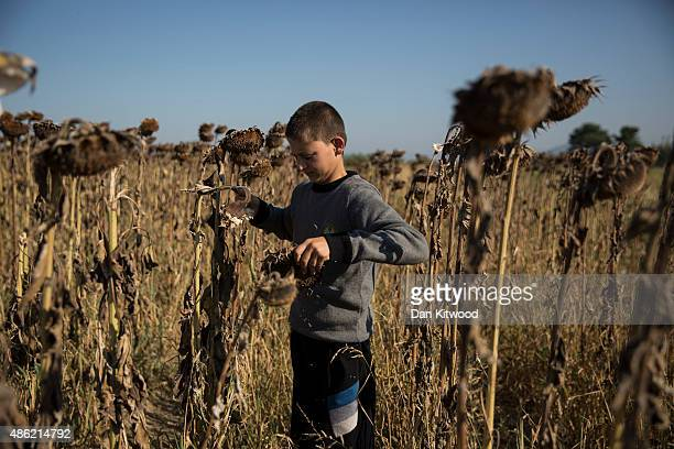 A young Syrian migrant harvest's sunflower seeds from a field adjacent to a border crossing for migrants September 2 2015 in Idomeni Greece From...