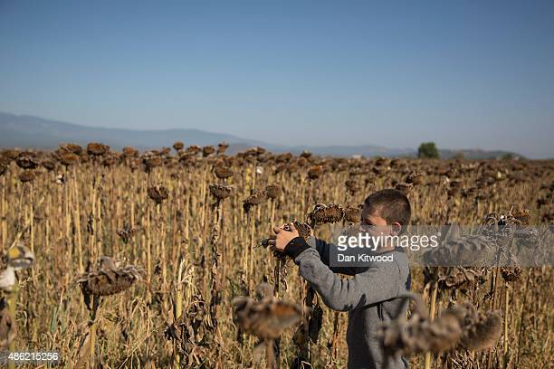 A young Syrian migrant harvests sunflower seeds from a field adjacent to a border crossing for migrants September 2 2015 in Idomeni Greece From...