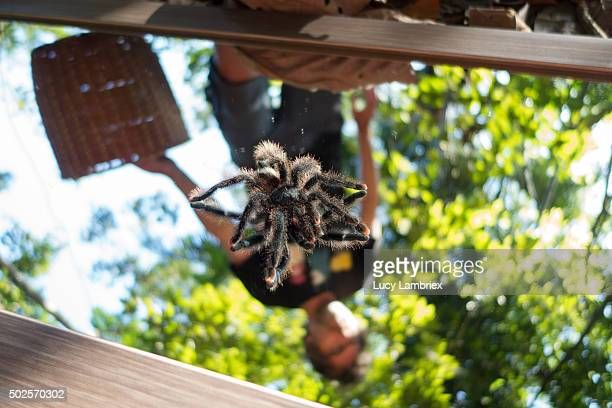 Young tarantula spider
