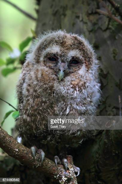 Young Tawny Owl Hiding in a Tree