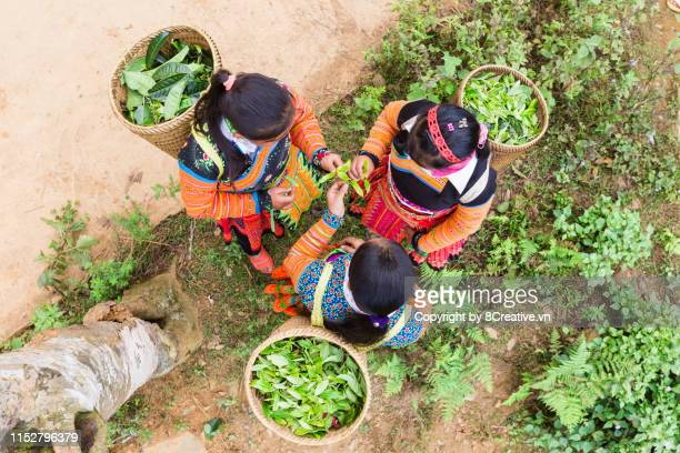 young tea buds are filled in mong's rattan basket after a tea picking session in the early morning. - after stock photos and pictures