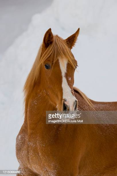 young thoroughbred arabian mare fox in winter, tyrol, austria - julia fox stock pictures, royalty-free photos & images