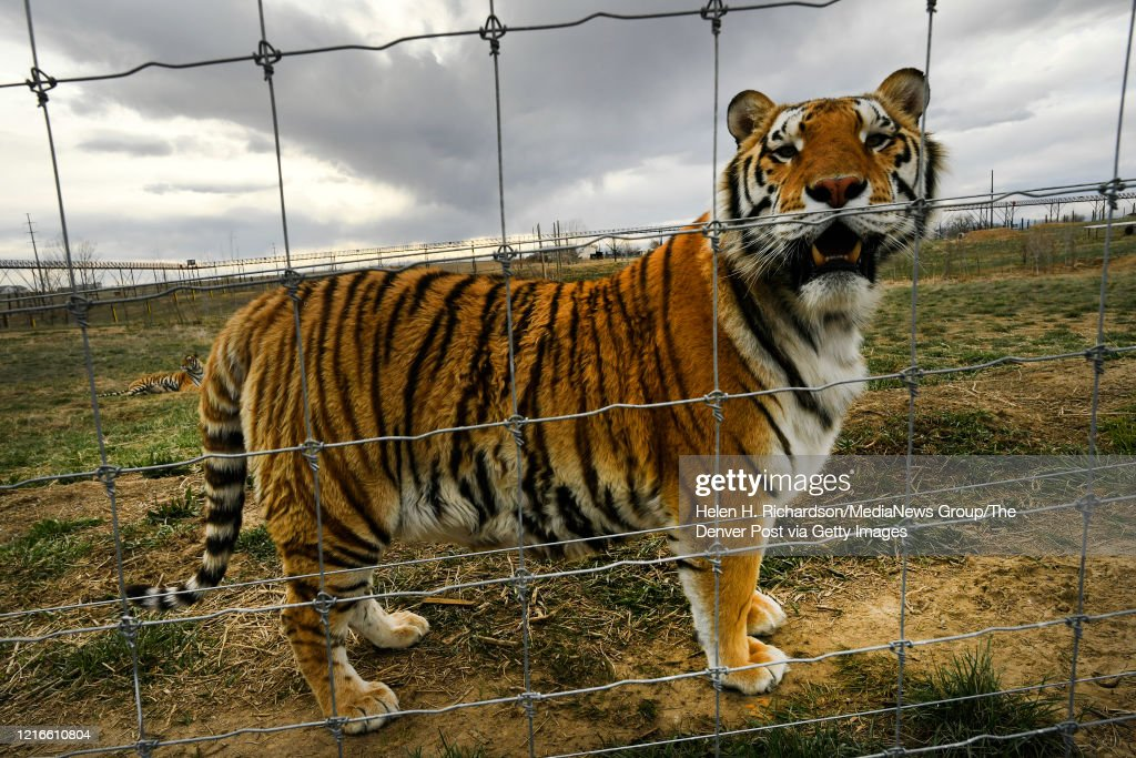 Tigers rescued  from Joe Exotic aka The Tiger King Joe : News Photo