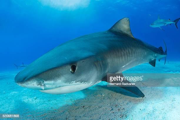 young tiger shark - requin tigre photos et images de collection