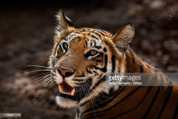 young tigress - bandhavgarh national park stock pictures, royalty-free photos & images