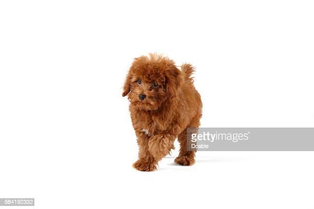 young toy poodle - caniche toy photos et images de collection