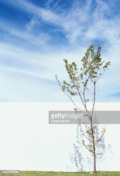 Young tree in front of white wall
