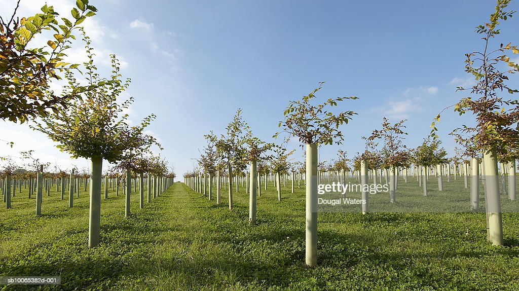 Young trees growing in rows : Foto stock