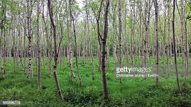 young trees in tree farm - tree farm stock pictures, royalty-free photos & images