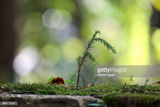 Young trees of Cedar