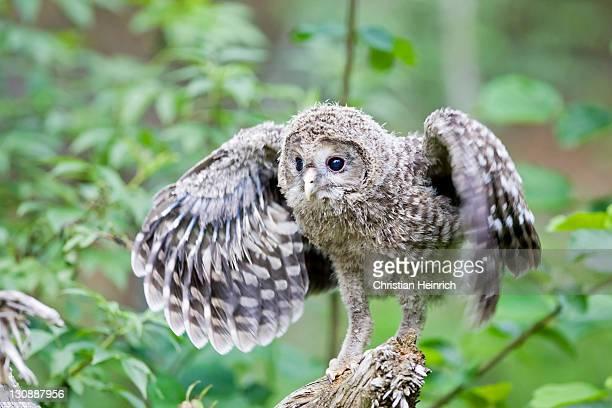 young ural owl (strix uralensis) practicing flying, bavaria, germany, europe - einzelnes tier stock-fotos und bilder