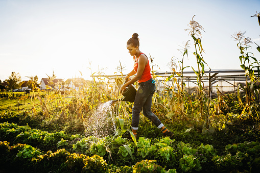 Young Urban Farmer Watering Crops By Hand - gettyimageskorea