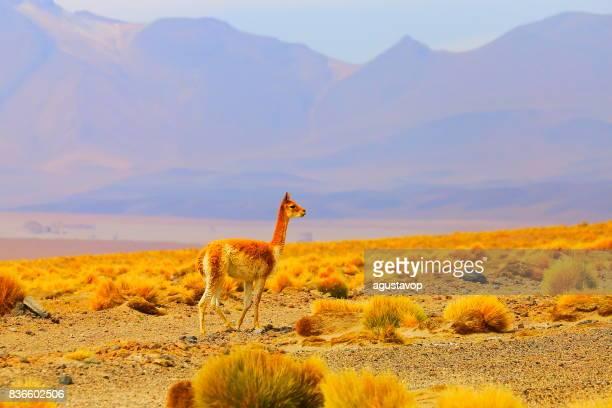 Liberté de solitude Young vigogne Guanaco, animaux de la faune dans l'altiplano des Andes boliviennes et idyllique désert d'Atacama, panorama paysage volcanique – région de Potosi, frontière Andes boliviennes, dans la Bolívia, au Chili et en Argentine