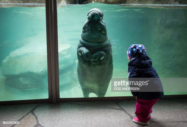 A young visitor interacts with a baby hippopotamus swimming in its enclosure at the Berlin Zoo on January 1 2018 Tourists and locals flocked to the...