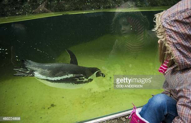 A young visitor is reflected in the glass as she watches penguins swim at the Zoo in Berlin on October 18 2015 The German capital saw temperatures...