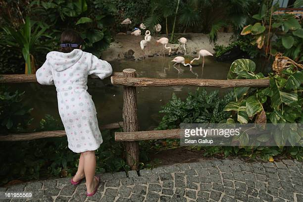 A young visitor looks at live flamingos standing in an enclosure at the Tropical Islands indoor resort on February 15 2013 in Krausnick Germany...