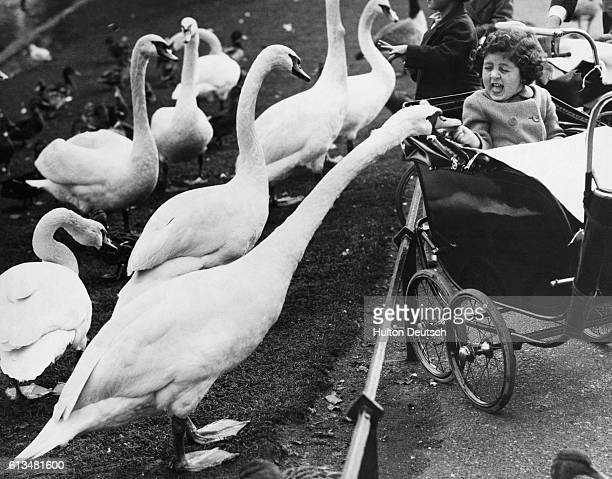 A young visitor to Regent's Park shrieks with surprise as one of the resident swans nips her finger London 1935