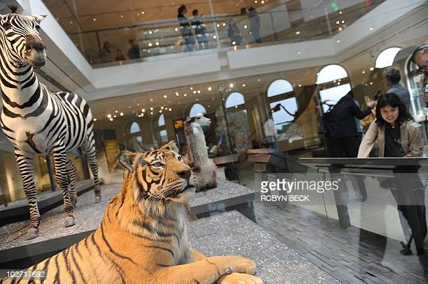 A young visitors looks at a taxidermy display of a modern zebra and Sumatran tiger during the press preview of the Age of Mammals exhibition and the...