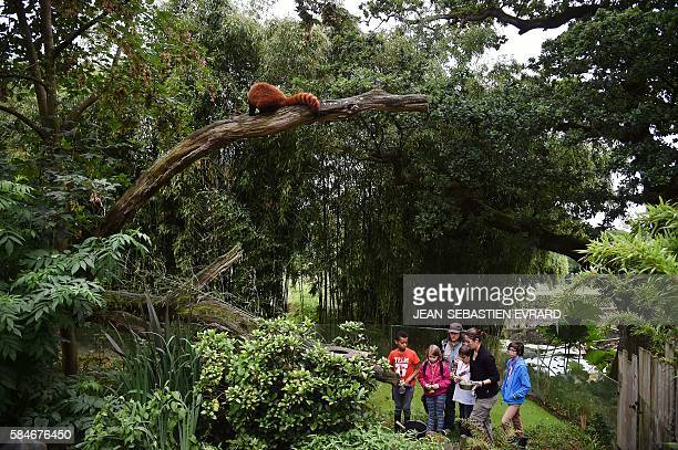 Young visitors take the place of the animal keepers for a day and nourish a red panda, during a special operation at the zoo of Branfere on July 29,...