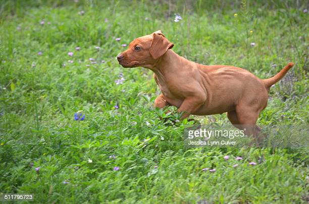 young vizsla puppy running through the grass - lynn pleasant stock pictures, royalty-free photos & images