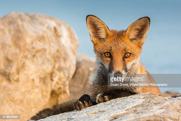young watchful red fox - fuchspfote stock-fotos und bilder