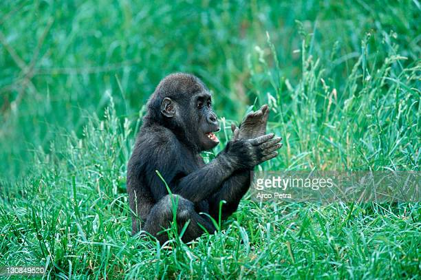 young western gorilla, clapping his hands (gorilla gorilla gorilla) - gorilla hand stock photos and pictures