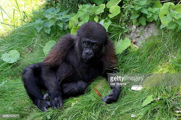 young western gorilla - gorilla hand stock photos and pictures