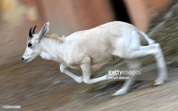 A young white Addax desert antelope springts through the outdoor enclosure at the zoo in Hannover Germany 30 June 2016 In total two baby antelopes...