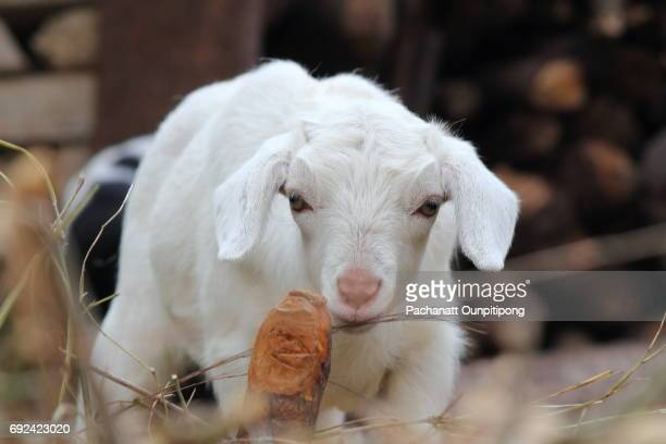 Young White Lamb in Nepal