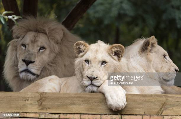 Young white lions rest next to their father Bouba at their enclosure at the Zoological Park in the eastern French city of Amneville on October 12...
