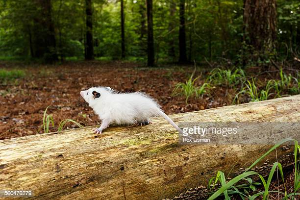 young white opossum walking on a fallen tree trunk - opossum americano foto e immagini stock