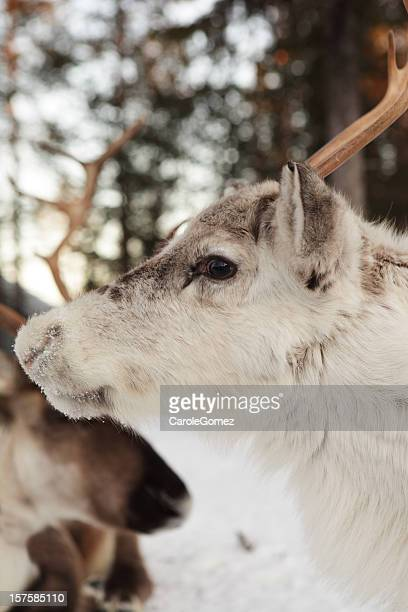 Young White Reindeer in Snowy Woodland