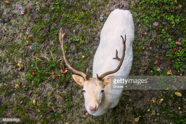 Young White Stag Looking Up At Camera