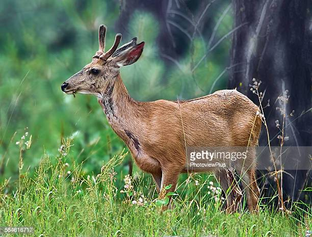 young white tail buck - white tail buck stock photos and pictures