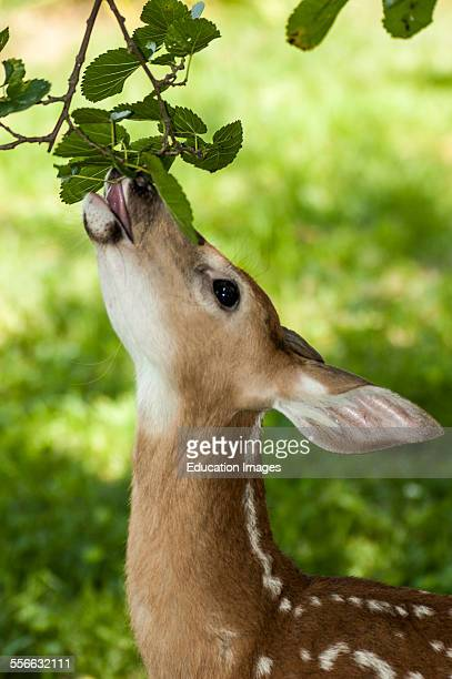Young white tailed deer fawn eating leaves from a Mulberry tree