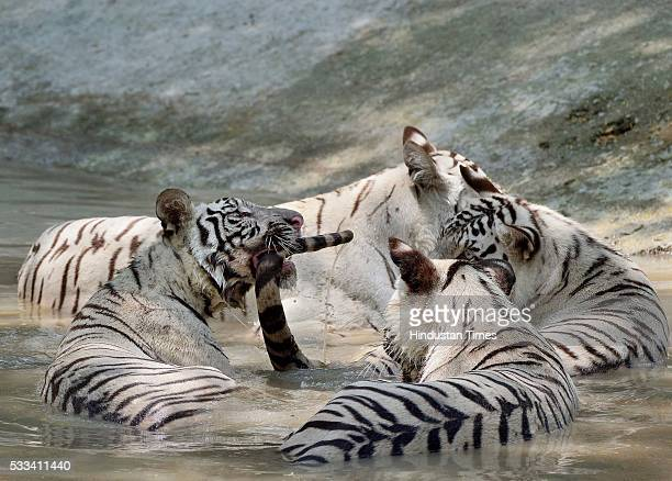 Young white tigers play in a pool of water at the National Zoological Park on a hot summer day as Delhi/NCR experienced yet another scorching day on...