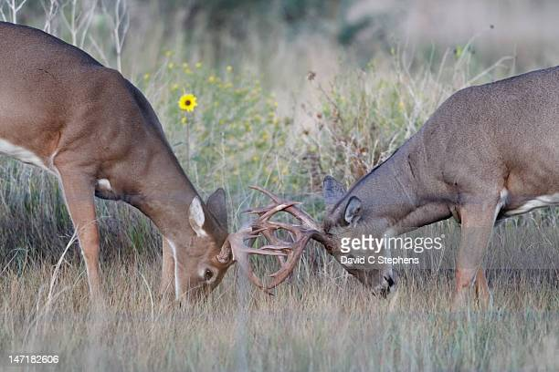 young white-tail deer bucks spar - white tail buck stock photos and pictures