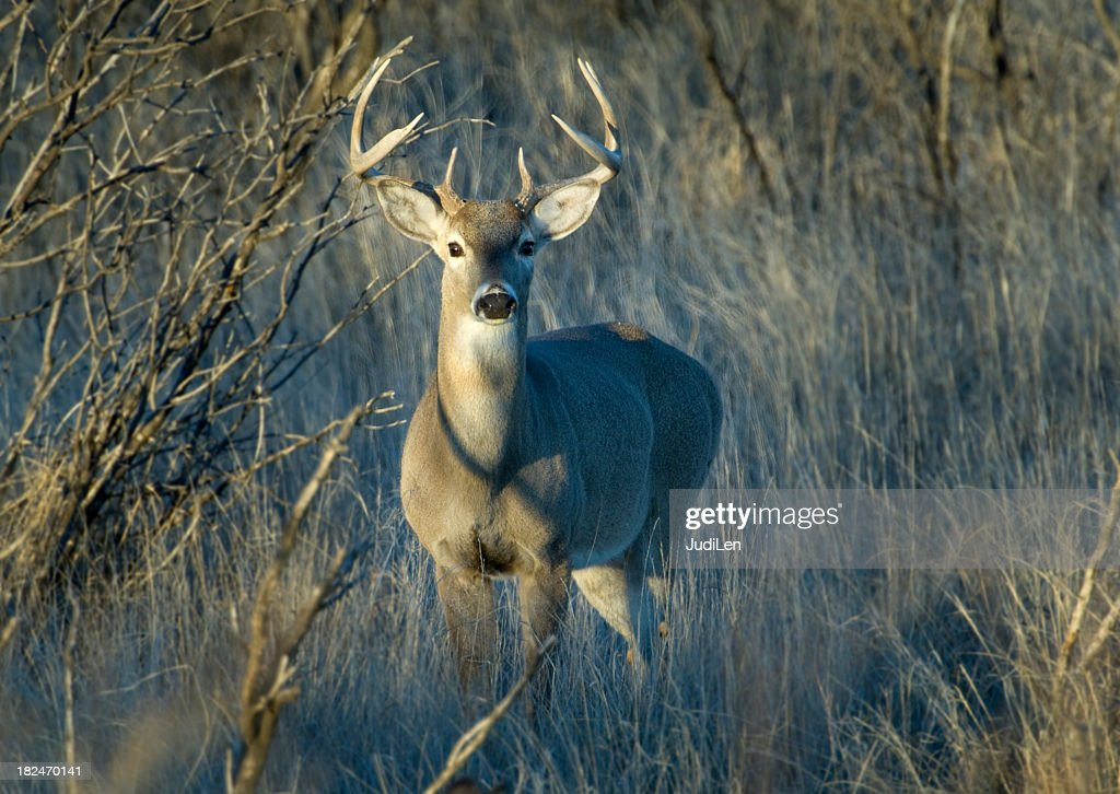 Young whitetail deer in the Texas brush : Stock Photo