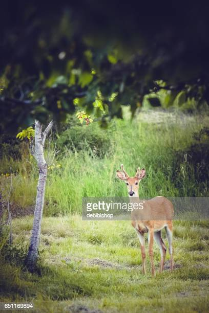 young white-tailed buck in grassy meadow - istock photo stock pictures, royalty-free photos & images